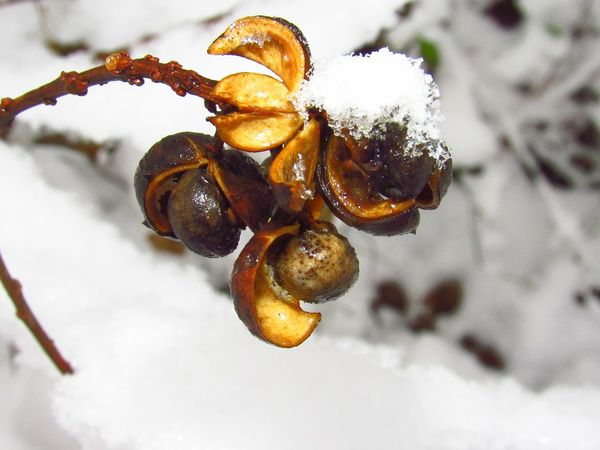 snow Snow Snow Covered Snow Covered Berry Covered In Snow Ice Winter Beauty In Nature Wild Berries Animal Food Nuts Nutshell Freshness TreePorn Snow On Branches Snow On Trees Branch Wintertime Cold Dried Plant Christmas In Dixie Paw Print In The Snow Leaves Covered In Snow EyeEm Selects No People Close-up Insect Nature Animal Themes Day Snow