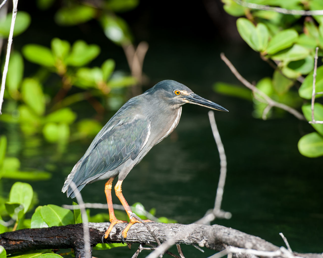 Close-Up Of Gray Heron Perching On Branch