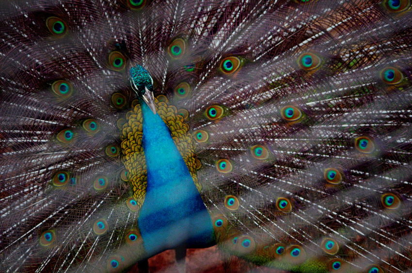 Mini Zoo Bintan Animal Themes Bird Close-up Fanned Out Feather  Full Frame One Animal Peacock Peacock Feather
