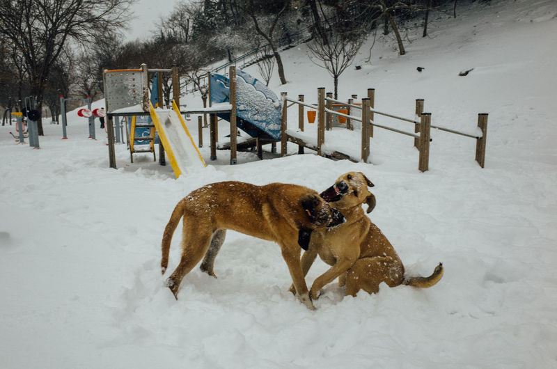 Dogs fighting on snow covered landscape