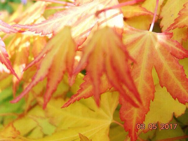 St Agnes Leaf Close-up No People Outdoors Day Acer My Garden
