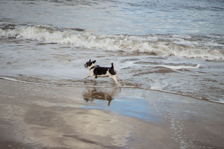 Dog running in water at beach