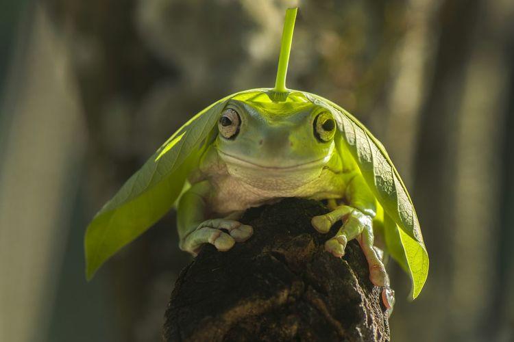 Close-Up Portrait Of Frog With Leaf On Rock