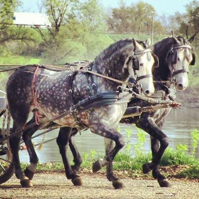 What a Wonderful Day with Horses Pair SPAIN Po Attacchi Andalusi Grey Friends Amici Welovedrivingsport Combineddriving Fahrsport Sportkörning Drivingsport Pony Yourdailyhorses Equestrian Carriagedriving Attelage