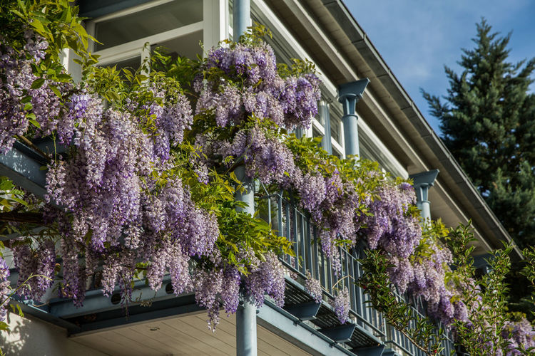 Low angle view of purple flowers on building