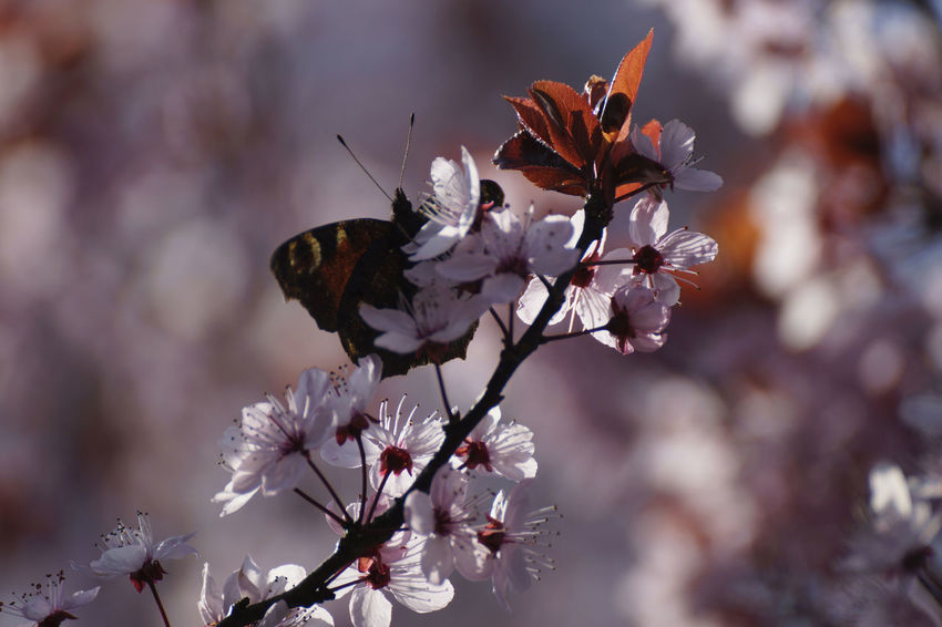 A butterfly on flowers in the springtime Animal Themes Beauty In Nature Blossoms  Butterfly Butterfly - Insect Butterfly Garden Butterfly On Flower Butterfly ❤ Dagpauwoog Day Flower Flower Head Fragility Nature Outdoors Spring Spring Flowers Springtime Tree Blossoms