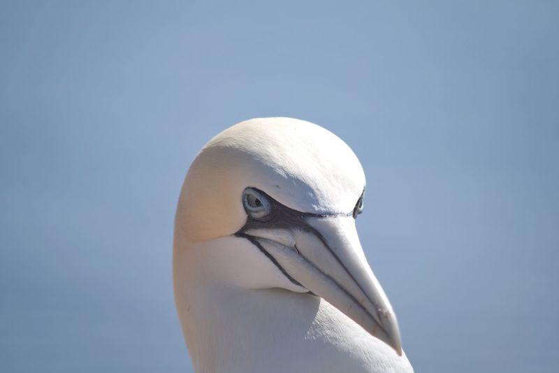 Close-up portrait of gannet bird against clear sky