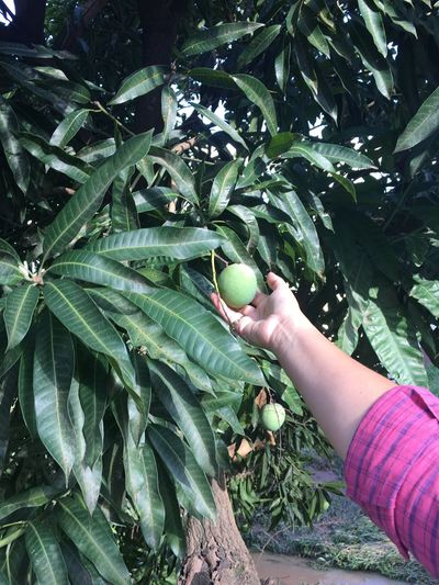Mangas brasileiras Human Hand Human Body Part Freshness One Person Healthy Eating Fruit Green Color Leaf Food And Drink Growth Holding Food Agriculture Picking Real People Close-up Rural Scene Outdoors Tree Day