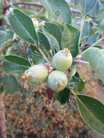 Nature Plant Close-up Tree Apple Tree Apple - Fruit Apple Garden Taking Photos ❤ Plant Californian Apples
