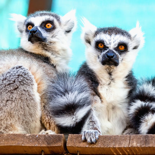 Low angle view of lemurs