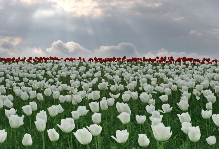 White flowering plants on field against sky