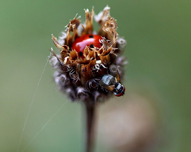 Ladybug Invertebrate Animal Wildlife Insect Animals In The Wild Close-up Animal Themes Nature Selective Focus No People Plant Day Fragility Outdoors Beauty In Nature
