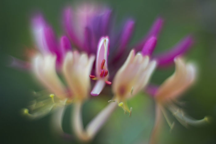 Beauty In Nature Botany Close-up Colour Of Life Depth Of Field Flower Flower Head Fragility Freshness Growth Honey Suckles Leaf Lonicera Nature Petal Purple Springtime Macro Beauty F/1.2 RF's F/1.2 Selection®