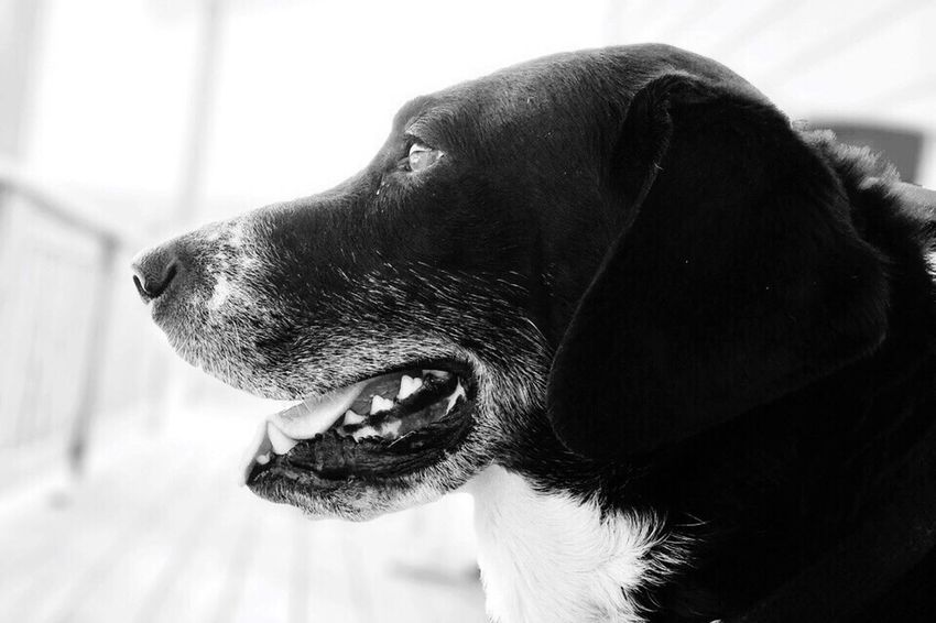 Halo aka Biggs - iPhone 5S IPhoneography AMPt_community Shootermag Black & White Everyday Joy Pets Corner Summer Dogs