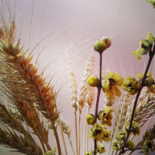 Eye4photography  Mobilephotography Wheat Dry Flower  Natural Beauty!