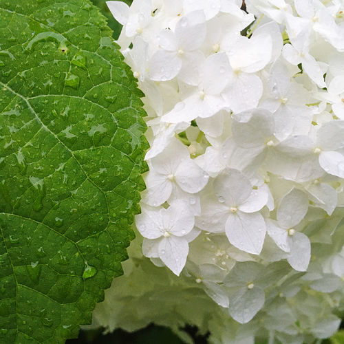 Close-up of water drops on white rose leaves