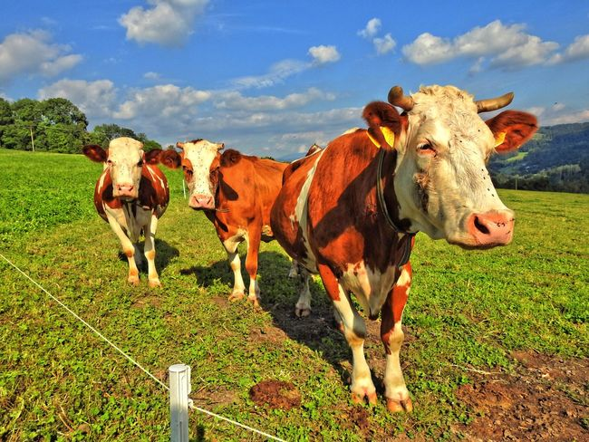 Animal Themes Blue Cloud Cow Domestic Animals Domestic Cattle Farm Animal Field Front View Full Length Grass Green Color Herbivorous Landscape Livestock Mammal Nature Non-urban Scene Outdoors Pasture Sky Solitude Standing Tranquil Scene Tranquility