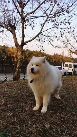 Dog Love Dog❤ Samoyede's Dog Samoyeddog Doggy ♥