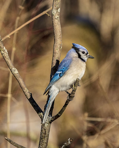 A beautiful blue jay perched on a tree branch. Bird Animal Wildlife Animals In The Wild Animal Themes Perching Branch Animal Outdoors Beauty In Nature Twig Looking Away Nature Tree Blue Jay Cynocitta Cristata Noisy Aggressive Bossy Wall Decoration Wall Art Home Decor Avian Ornithology  Animals In The Wild Forest WoodLand Copse Corvidae