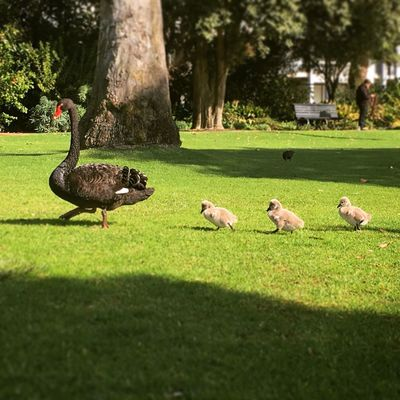Taking the kids to the park Grass Animal Themes Bird Nature Outdoors Park - Man Made Space Green Color Swan Black Swan Gosling Baby Babies Family School Holidays