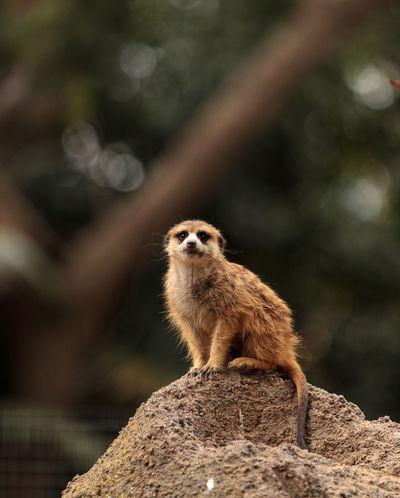 Meerkat, Suricata suricatta, on a large rock, on the lookout for predators or food. Africa Alert Animal Desert Mammal Meerkat Mongoose Nature Suricata Suricatta Watch Wildlife