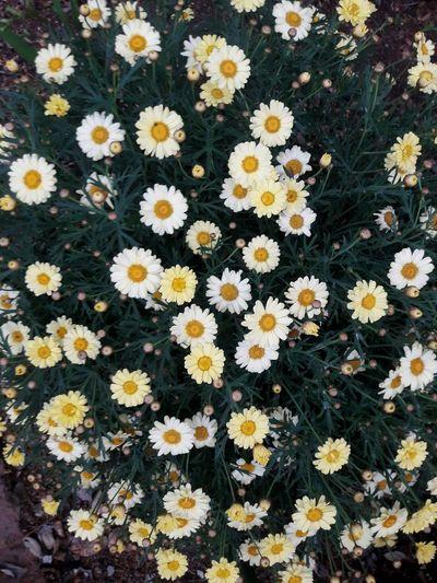 Full frame shot of daisy flowers