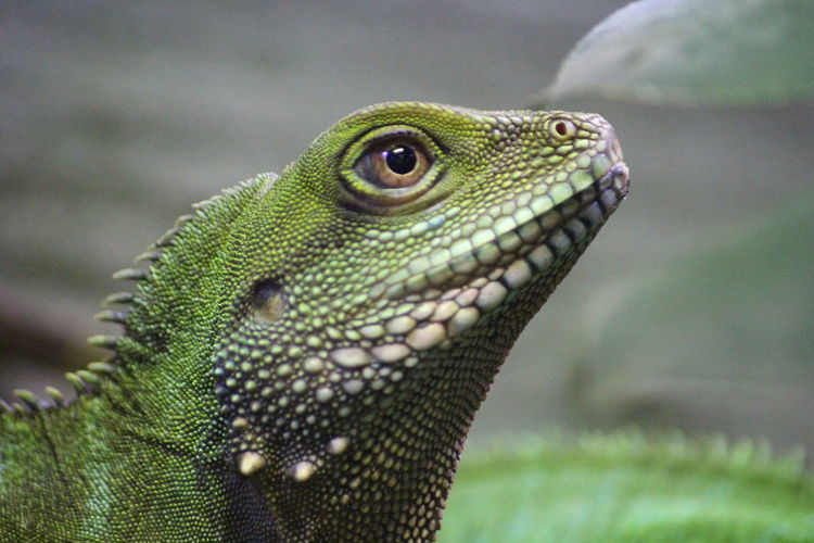 One Animal Focus On Foreground Close-up Green Color Nature Reptile Zoology Beauty In Nature Green Skin Eye Reptile Photography Reptilecollection Reptile World Head Picsartrefugees