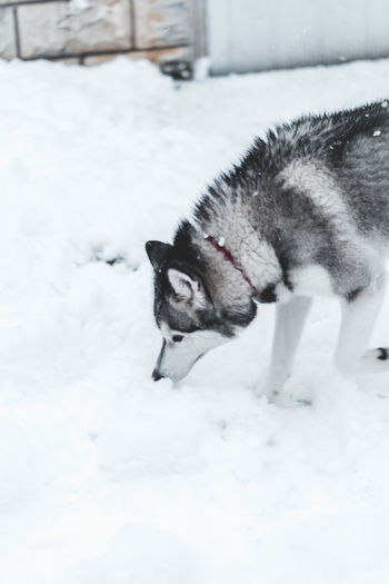 Husky One Animal Animal Animal Themes Snow Mammal Cold Temperature Winter Pets Domestic Domestic Animals Vertebrate Canine No People Dog White Color Field Day Nature Land Outdoors Snowing