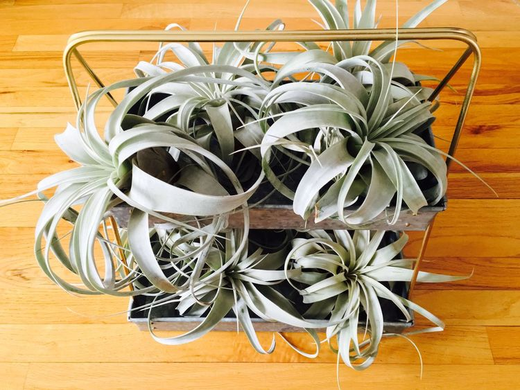 air plant xerographica Green Air Airplants Xerographica Indoor Plant Gorgeous