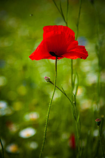 Poppies In Bloom Poppy Fields Beauty In Nature Flower Flower Head Flowering Plant Fragility Freshness Growth Petal Plant Plant Stem Pollen Poppies  Poppies Blooming Poppies Field Poppy Poppy Field Poppy Flower Poppy Flowers Poppyflower Red Vulnerability