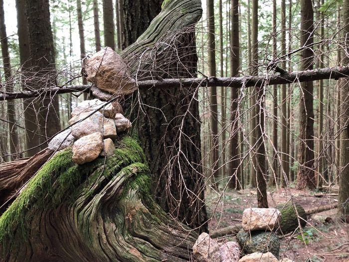 Root Wind Cedar