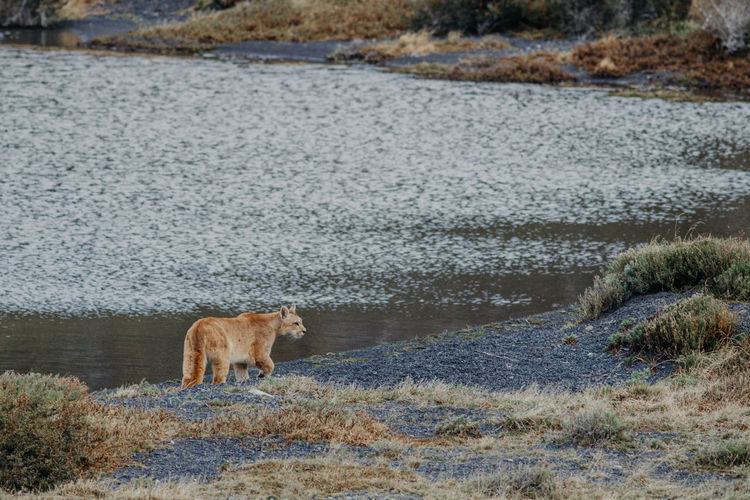 Puma (Puma Concolor) at Torres del Paine Puma Concolor Feline Animal Themes Animal Mammal One Animal Animals In The Wild Water Animal Wildlife Vertebrate No People Day Nature Bear Domestic Animals Side View Cat Pets Puma