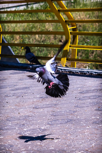 Pigeon flying in a bird