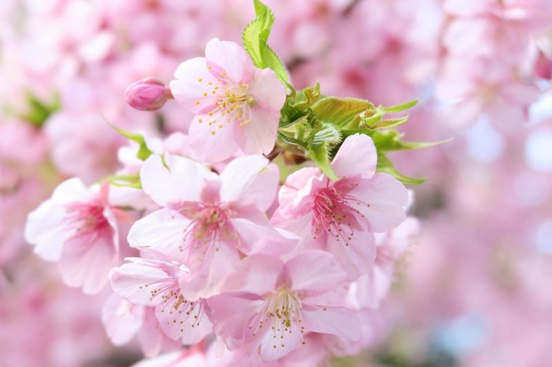 Close-Up Of Pink Cherry Blossoms Outdoors