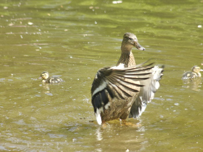 Animal Animal Themes Animal Wildlife Animals In The Wild Babies Baby Bird Bird Lake Bird Photography Birds Birds In The Water Day Duck Lake Lifestyles Little Duck Moth Mother Nature Nature No People Out Outdoors Peace Sunshine Youth