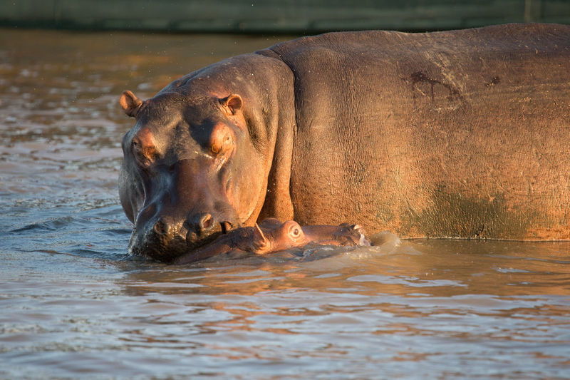 Two Hippopotamus In Water