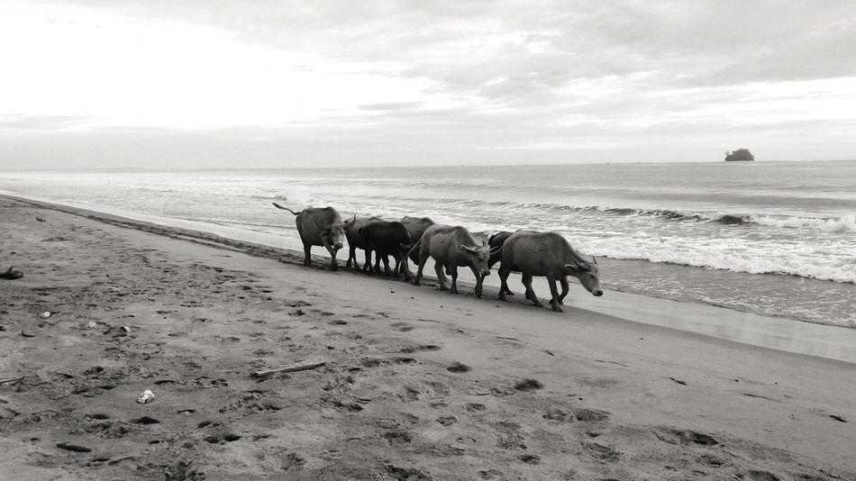 Nature Sea Beach Blackandwhite No People Buffaloes Wildlife And Nature Wild Animal Aceh, Indonesia Black And White Friday