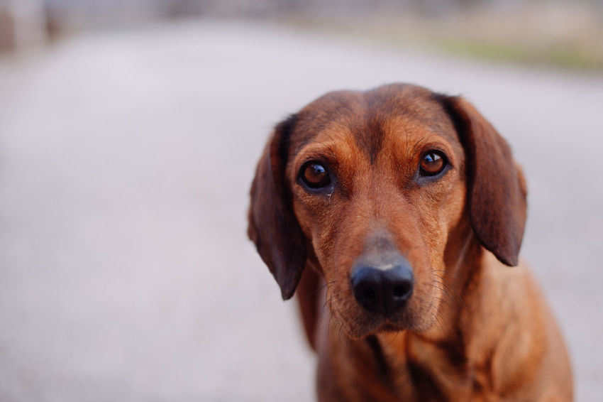 Natural Animal Animal Themes Brown Close-up Day Dog Dogs Eye Domestic Animals Home Animals  Looking At Camera One Animal Outdoors Pets Portrait