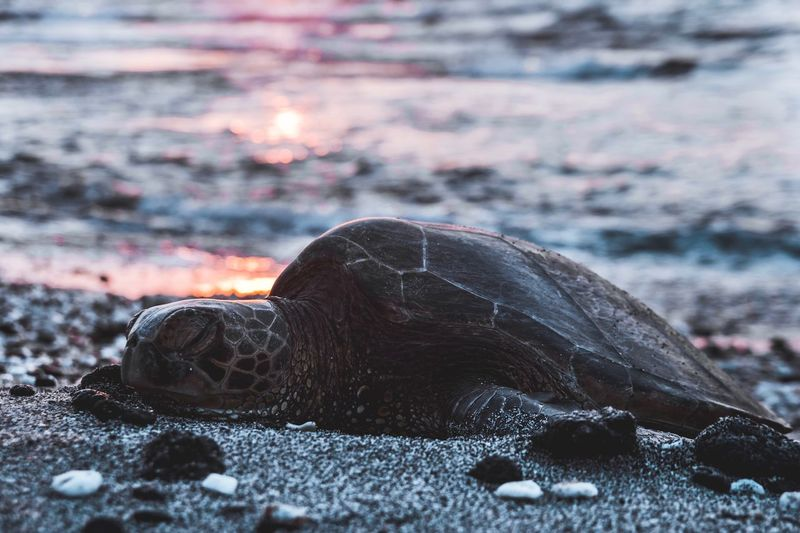 Honu 🐢 Animal Hawaii Life Hawaii Green Turtle Honu Turtle Nature Land Focus On Foreground No People Close-up Sunset Beach Outdoors Beauty In Nature Tranquility Sand Sea Selective Focus