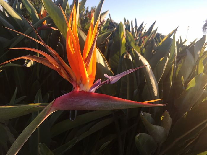 Growth Freshness Orange Color Bird Of Paradise - Plant Beauty In Nature Plant Flower Nature Fragility Close-up Blooming Outdoors No People Flower Head Day Wasp EyeEmNewHere