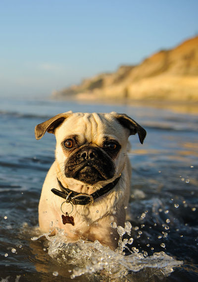 Close-Up Portrait Of Pug Standing In Lake Against Sky