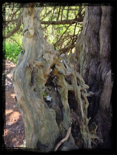 Walking Around Beautiful Bark Yew Tree