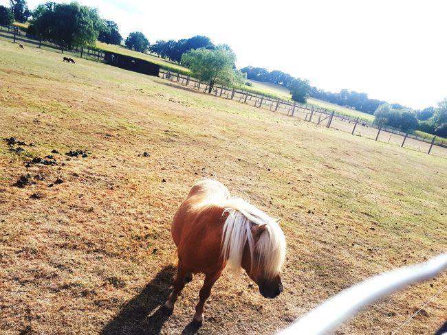 shattland pony Shatland Pony Pony Mini Little Pony Farm Farmland Ponylife Countryside Vellahn Sonnig Sunny ARTfoxHH Sand Beach Sunlight Sky EyeEmNewHere