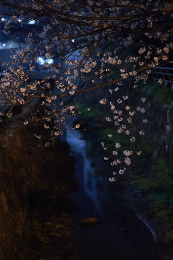 Cherry Blossom Cherry Blossoms Night Lights Night Photography Nightphotography Beauty In Nature Branch Cherry Tree Cherryblossom Cherryblossoms Close-up Forest Freshness Growth Nature Night Night View Nightshot No People Outdoors Tree Water