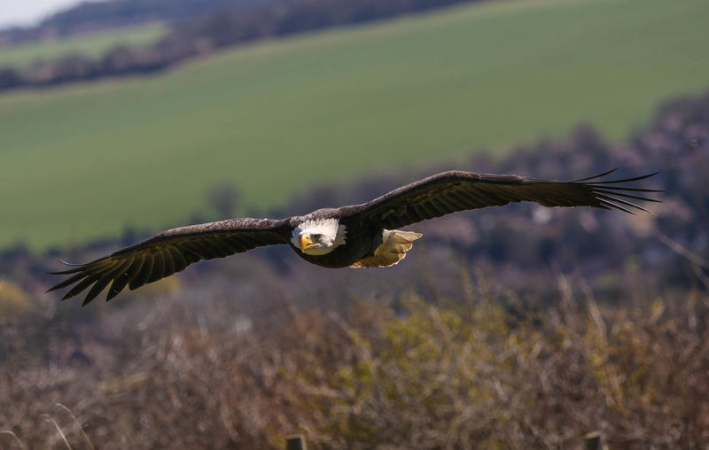 Full Span Animal Themes Animal Wing Animals In The Wild Beauty In Nature Bird Close-up Day Eagle Field Flight Flying Focus On Foreground Full Length Golden Eagle Mid-air Nature No People One Animal Outdoors Selective Focus Side View Spread Wings Wildlife