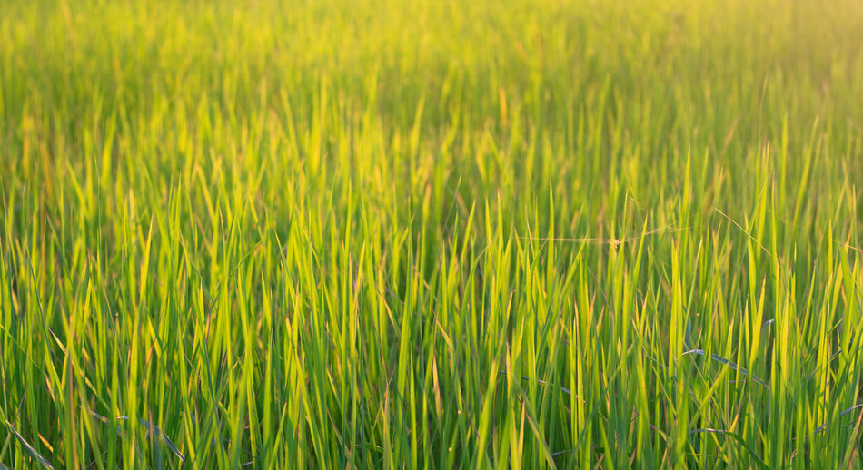 Full frame shot of crops on field