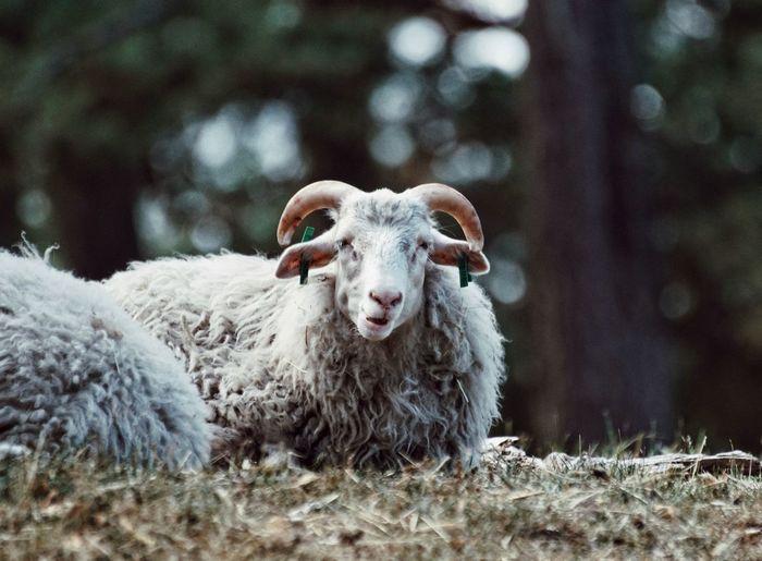 Portrait of sheep sitting on field
