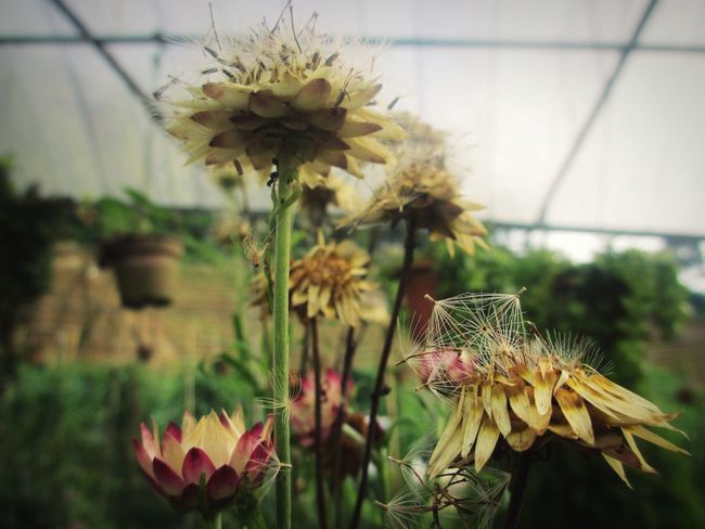 Lovely Dandelion landed on flowers Flower Plant Nature Fragility Growth Flower Head Beauty In Nature Botany Blossom Close-up Day Petal Freshness Wildflower Springtime Outdoors Floral Photography Garden Floral The Week On EyeEm Leaves Rural Scene Focus On Foreground Dandelion