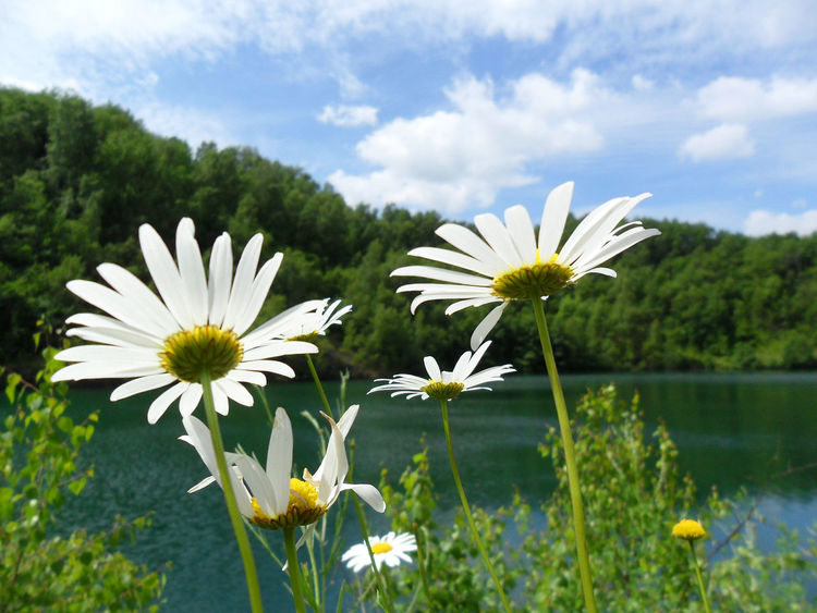 Beauty In Nature Blooming Blossom Close-up Cloud - Sky Daisy Day Flower Flower Head Focus On Foreground Fragility Freshness Growth In Bloom Nature No People Outdoors Petal Plant Pollen Seeview Sky Tranquility White Color