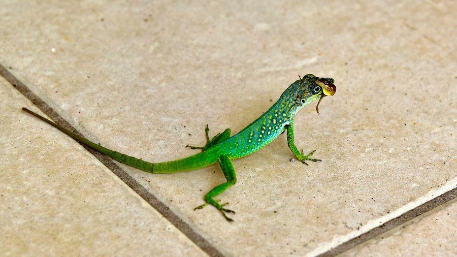 Zandoli Close-up Green Color Lizard Martinique Nature Reptile Tropical Wildlife